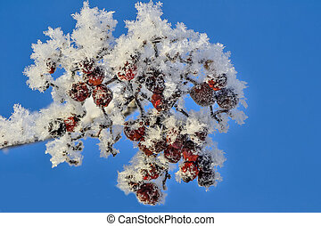 Cluster of red rowan berries with hoarfrost covered close up