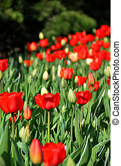 Cluster of Red Tulips fading in the background.