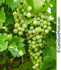Cluster of ripening grapes in a vineyard