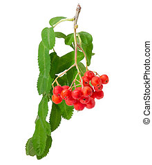 Cluster of rowan berries on branch on a white background