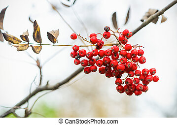 Cluster of rowan berry on a twig