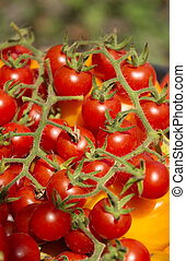 Cluster of small red cherry tomatoes on a branch