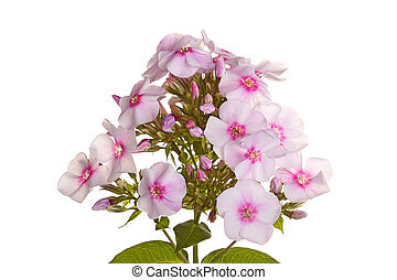 A single stem with many white and pink flowers of phlox (Phlox paniculata) and leaves isolated against a white background