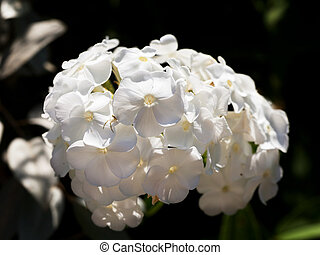 cluster of white flower Phlox close up