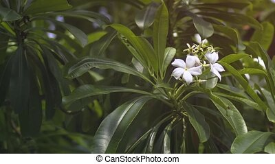 Cluster of White Flowers on a Beach Plant in Hikkaduwa