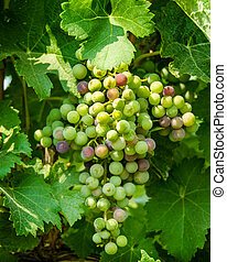 Cluster of wine grapes growing on a vine