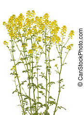 Barbarea vulgaris - cluster yellow flower (Barbarea...