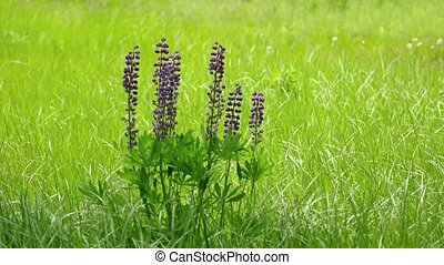 Clustered specimen of wild lupinus, with its lavender colored flowers and fan shaped leaves, growing in a grassy field. 4k UltraHD footage