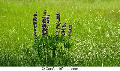 Clustered Specimen of Wild Lupinus in a Field. - Clustered...
