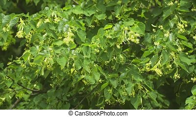 Clustered, spring blossoms and green leaves of a linden tree...