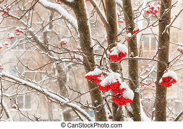 Clusters of berries mountain ash with stuck snow