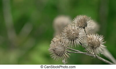 Clusters of dry burs on burdock plant in closeup, stirred by...
