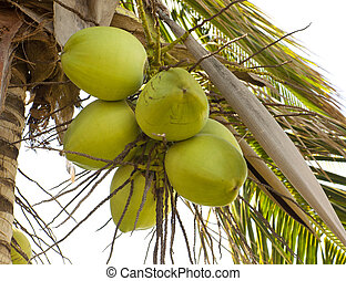 Clusters of green coconuts close-up hanging on palm tree