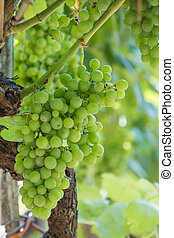 clusters of green grapes in the vineyard