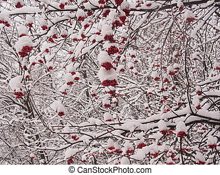 Clusters of mountain ash under snow.