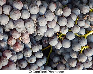 Clusters of Nebbiolo grapes in the Langhe, Piedmont - Italy