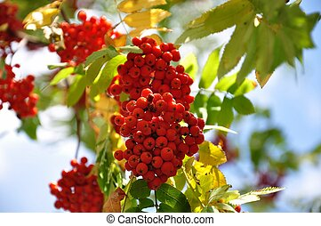 Clusters of red ashberry on a branch in autumn
