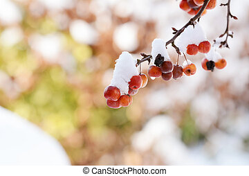 Clusters of red crab apples on branch, covered in snow
