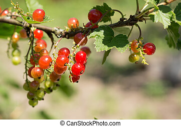 Clusters of red currant on a branch in a summer garden