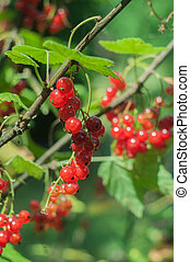 clusters of red currant on a branch