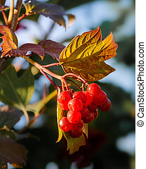 Clusters of red viburnum on a branch