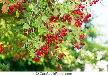 Clusters of red viburnum on branches