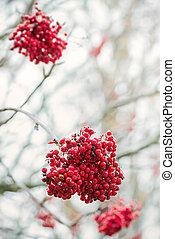 Clusters of Rowan berries