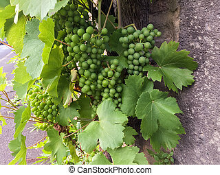 Clusters of unripe grapes and green leaves