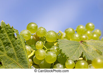 clusters of white grapes in vineyard on blue sky background in vineyard