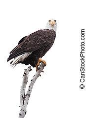 Clutched Eagle Talons On a White Birch - A bald eagle...