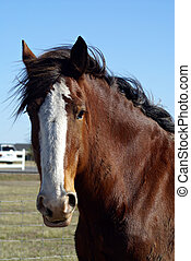 Clydesdale Beauty - Portrait style head shot of a beautiful...