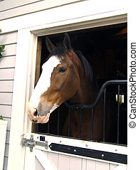 Clydesdale Horse in Stall - Clydesdale horse looks out of...