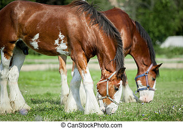 clydesdales horses grazing