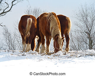 Clydesdales in the Snow