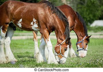 clydesdales, pastar, cavalos