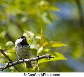 coal tit bird on a branch