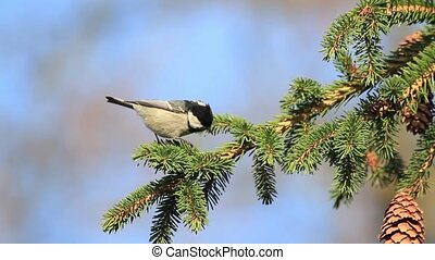 Coal tit jumping on the Christmas tree branches , wild...