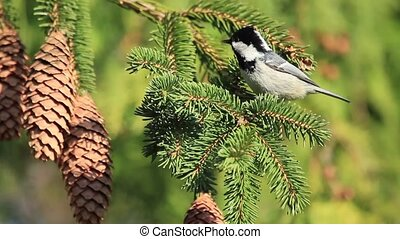 Coal tit jumps on fir cones and branches , wild nature