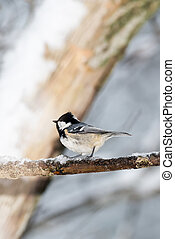 Coal tit on a icy twig (Periparus ater)