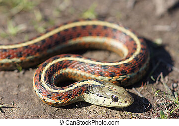 Coast Gartersnake close-up