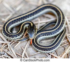 Coast Gartersnake - Thamnophis elegans terrestris