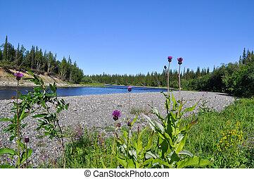 Coast Northern rivers and Thistle prickly. Polar Ural, Komi Republic, Russia.