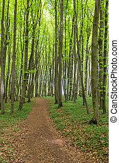 Coastal forest on the island Ruegen, Germany.
