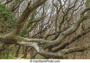 coastal forest detail with knaggy trees near Domburg in Zeeland, a province in the Netherlands at winter time