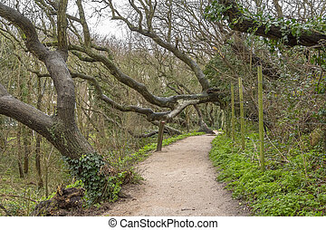 coastal forest scenery with knaggy trees near Domburg in Zeeland, a province in the Netherlands at winter time