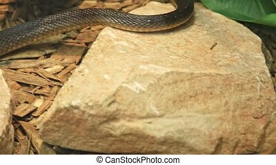 Coastal taipan snake in a natural background. Oxyuranus scutellatus species is an Australian very venomous snake. Elapidae snakes family. Living in northern and eastern Australia and New Guinea island