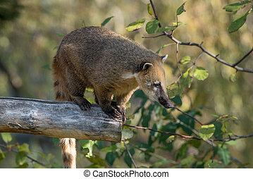 coati, 木, アメリカの南, ブランチ, (nasua)
