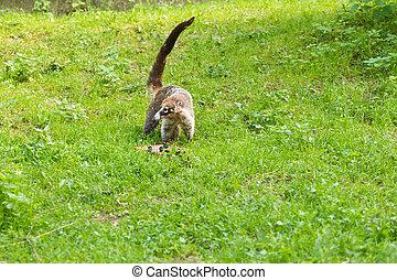 coati, 野生生物, habitat., 自然, nasua, 現場, forest., nasua, 緑, 動物, tropic, アメリカの南