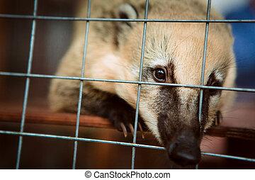 coati, cage., 動物, 動物園