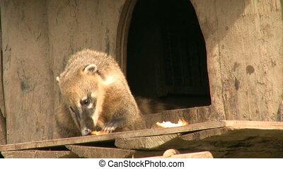 Coati eating fruit